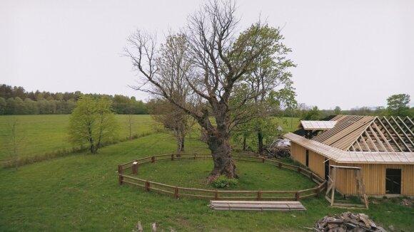 Gudlaukio legenda – ilgaamžis ir storakamienis ąžuolas