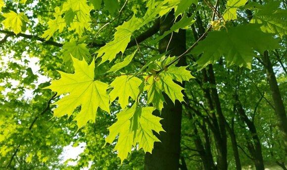 Savivaldybių įnoriai renkantis miestų medžius kelia šypseną: prašo, kad lapai būtų tam tikros formos