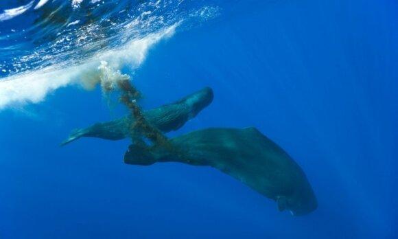 Besituštinantis banginis