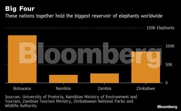 Kruvini doleriai: drambliais turtingos Afrikos šalys reikalauja atnaujinti prekybą dramblio kaulu