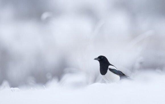 """Mariaus Čepulio nuotrauka  """"Žiema"""""""