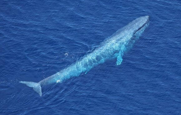Mėlynasis banginis