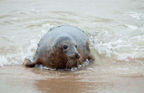 Į jūrą paleidžiami pasveikę ruoniukai