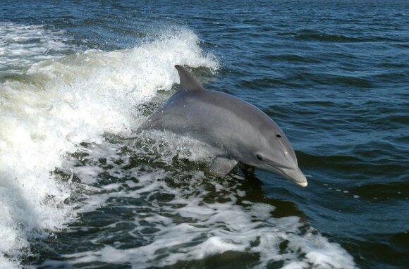 Netikėti, bet malonūs svečiai iš Atlanto vandenyno: ar Baltijos jūroje apsigyveno delfinai?