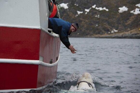 Baltasis delfinas prie Norvegijos krantų