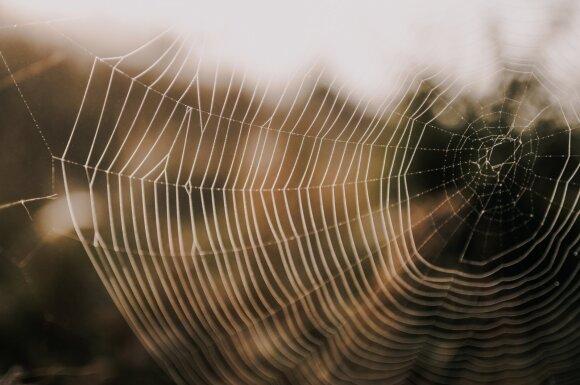 Panaudodami genetiškai modifikuotas bakterijas, mokslininkai sukūrė polimerines amiloidines gijas, kurios tvirtesnės už kai kurias vorų šilko rūšis, plieną ar kevlarą. Washington University in St. Louis/Jingyao Li nuotr.