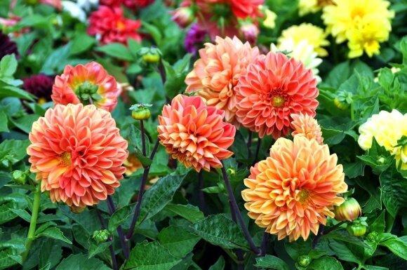 Kaip gėlių šaknims per žiemą sulaukti pavasario ir vasaros žiedų?