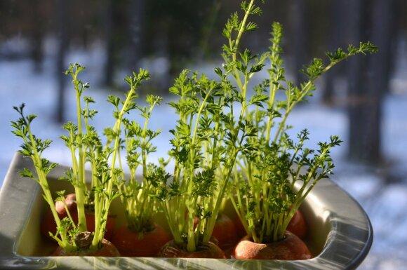 Gardus sprandinės kepsnys su morkų salotomis