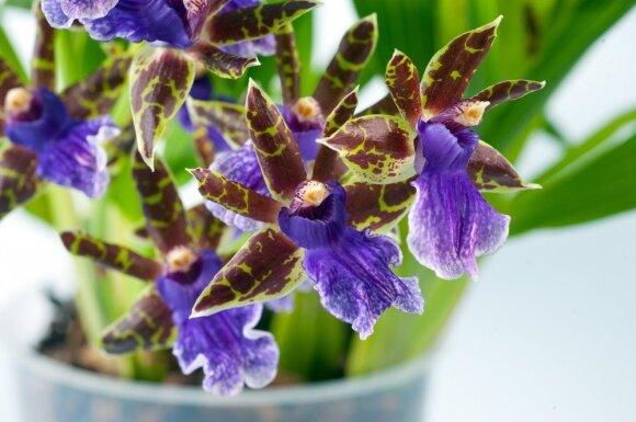 """Populiarios orchidėjos, kurias paprasta auginti <sup style=""""color: #ff0000;"""">1 dalis</sup>"""