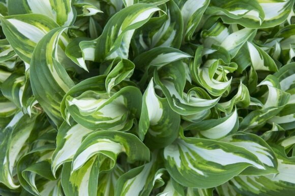10 daugiamečių augalų, kurie patiks tingiems sodininkams