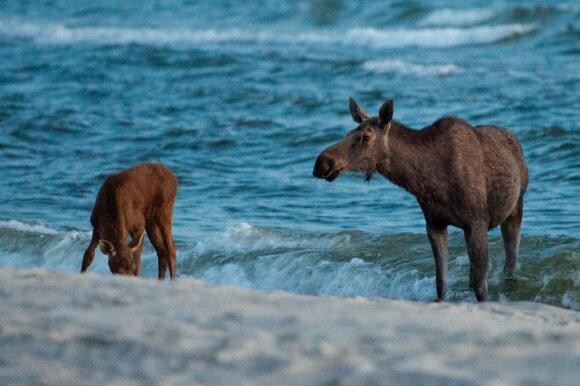Briedžiai Nidos paplūdimyje