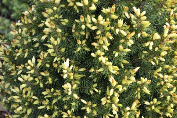 Eglutė 'Maigold' ypač puošni pavasarį, kai pasidabina kreminės spalvos jaunais ūgliais.