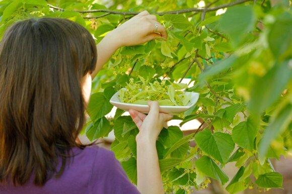 Viena populiariausių vaistažolių Lietuvoje, kuri padeda ir mažam, ir senam