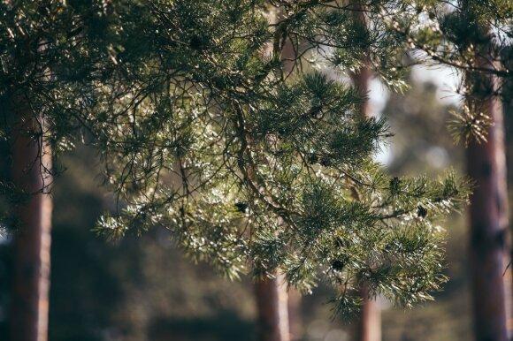 Nerimas dėl Labanoro girios: pamirškime emocijas ir pažiūrėkim į skaičius