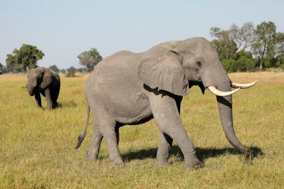 Intriguojantys faktai apie mamas: kokio gyvūno nėštumas trunka ilgiausiai, o naujagimis būna didžiausias?