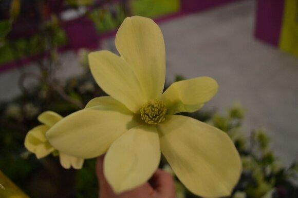 Magnolijų kolekcionieriai itin vertina retas geltonžiedes magnolijas (Magnolija 'Maxine Merrill').