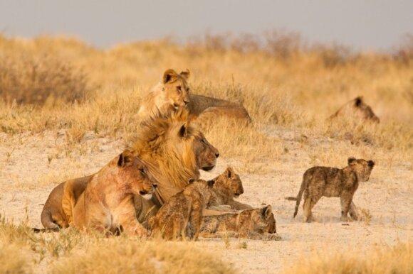 Liūtas ir jo haremas