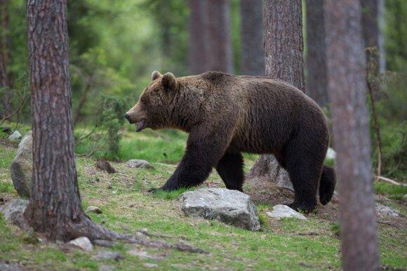 Lietuvoje pastebėtas meškos jauniklis: ar rudieji lokiai vėl sugrįžo į mūsų miškus?