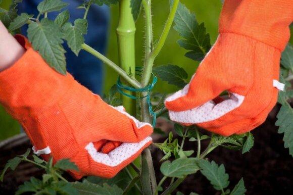 Kaip prižiūrėti pomidorus, kad duotų gerą derlių