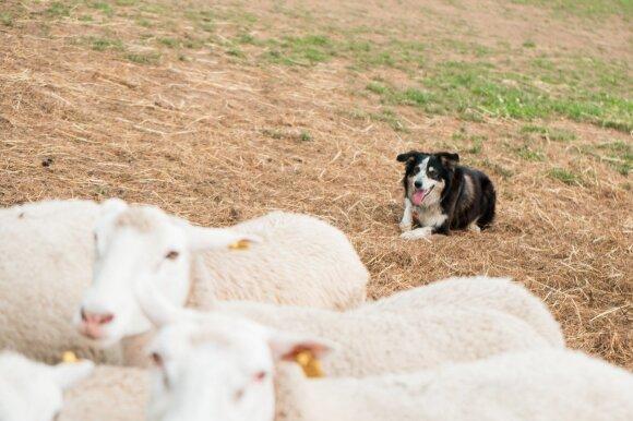 Avių augintoja: šunys – mano pagalbininkai ūkyje ir ištikimi draugai