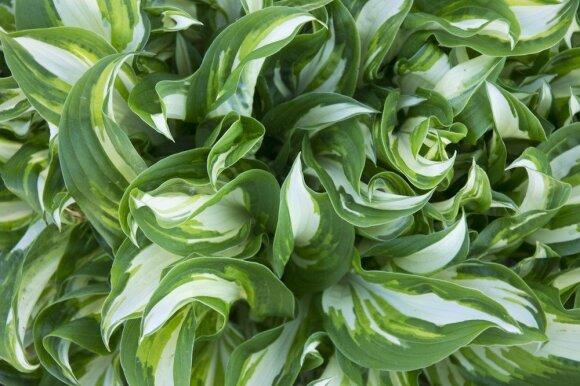Žydintys daugiamečiai augalai: 7 sėkmės paslaptys
