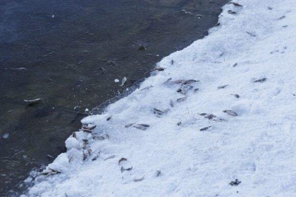 Poledinė žūklė ir nugaišusios žuvys Liberiškio tvenkinyje