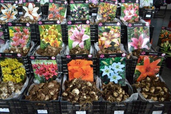 Iš neišvaizdžių lelijų svogūnėlių išaugs nuostabios gėlės.