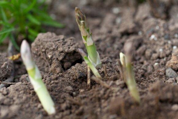 """Ūkininkai tikisi """"įdarbinti"""" kieme augantį ąžuolą"""