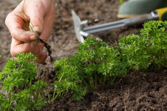 Paprasta priemonė, kuri darže padės atsikratyti piktžolių