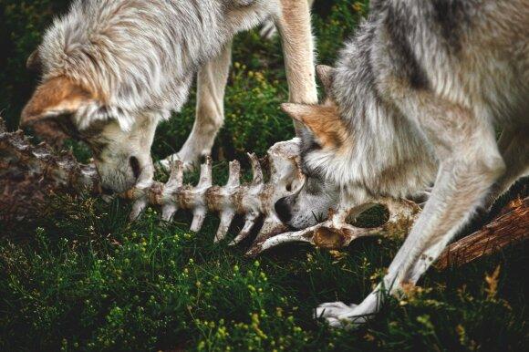 Tikra istorija apie vilkų naudą: ar tikrai norite sukelti nevaldomą chaosą Lietuvos miškuose?