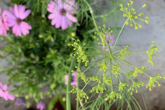 Balkone auginami prieskoniai ir daržovės
