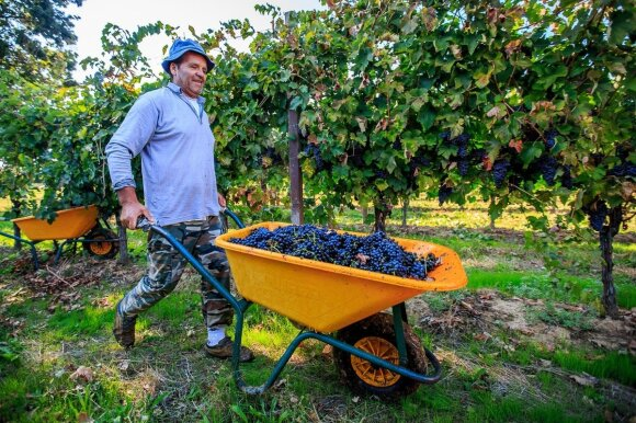 Italijos vynuogynai