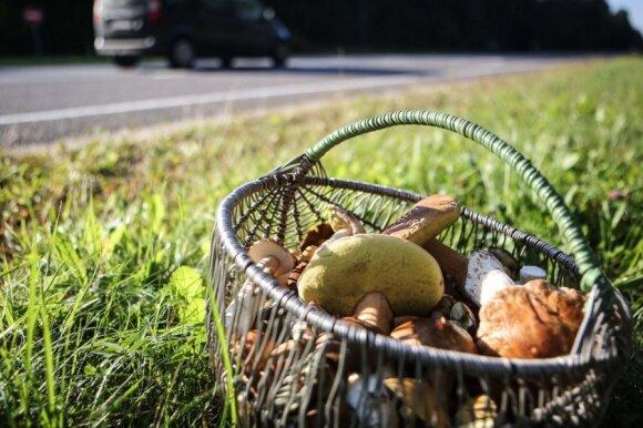 Geros žinios užkietėjusiems grybautojams: sausra grybų dygimo nesustabdė