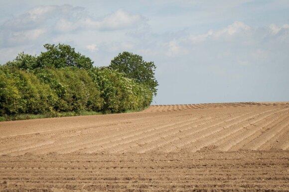 Sausros nustekentų laukų nebeatstatys net lietus: kai kuriuose regionuose derlius jau prarastas