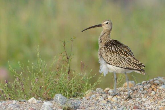 Migracijos metu kartais pasiseka išvysti retą paukštį – didžiąją kuolingą