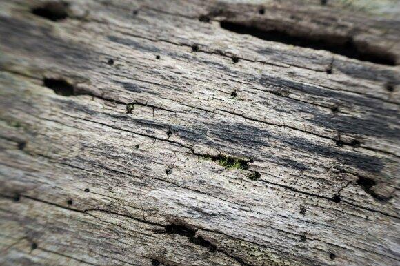 Šimtai vabzdžių kenkėjų kasmet kėsinasi į miškus: kai kurių medžių išgelbėti nepavyksta