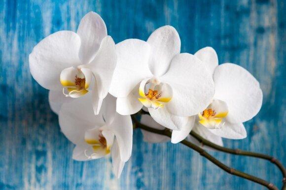 Paprasti principai, kurių laikantis orchidėjų žiedais džiaugsitės ne vienerius metus