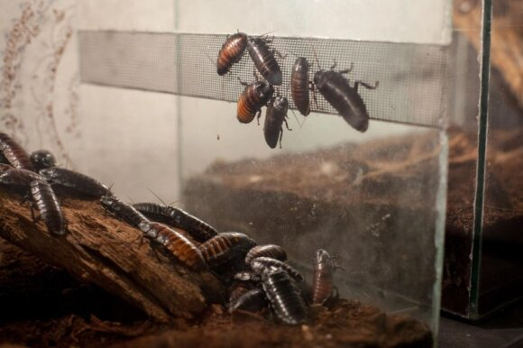 Insektariume tarakonai labai gerai maitinami