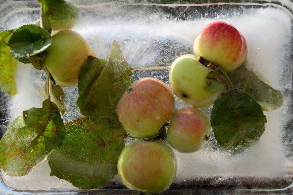 Šaldyti obuoliai