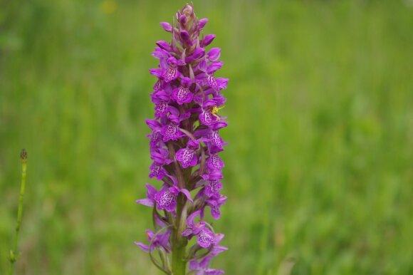 Lietuviškos orchidėjos Neries regioniniame parke