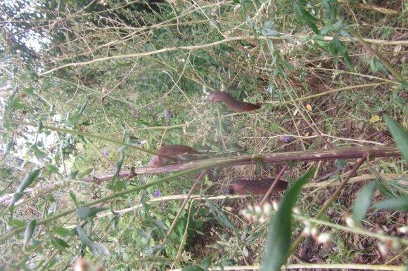 Invazinių šliužų žala sodo augalams