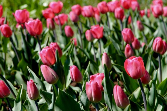 Tulpės Alma Adamkienė