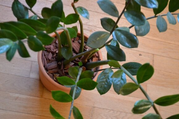 Zamiokulkas taip pat nelepus kaip ir storlapis, tik auga sparčiau, mažame vazone jam greitai pradeda nebetilpti šaknys.