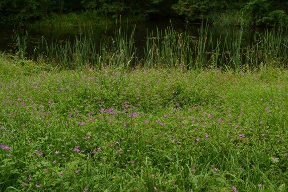 Natūralus gamtinis gėlynas - snapučių pieva.