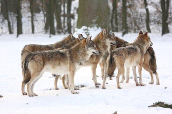 Gamtininkas troško pagelbėti vilkams