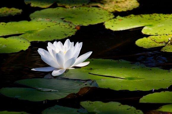Mažažiedė vandens lelija