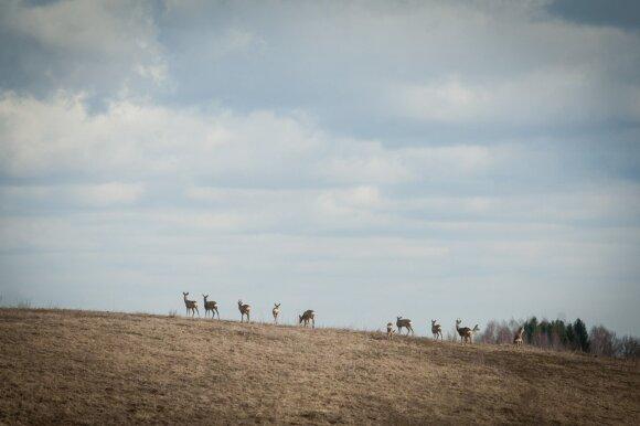 stirnos,gyvūnai,laukiniai,medžioklė,aplinkosauga,pavasaris,gamta