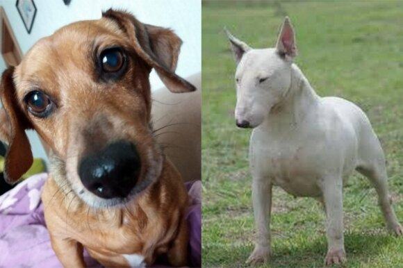 Bulterjeras sudraskė takso veislės šuniuką