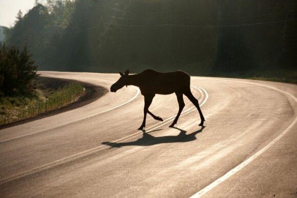 Pradėjus temti vairuotojai turi pasisaugoti į kelią išbėgusių briedžių