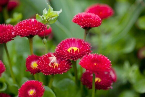 Gėlių priežiūra birželį